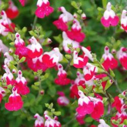 Sauge Bicolore 'Little Kiss' (Salvia Microphilla 'Little Kiss')
