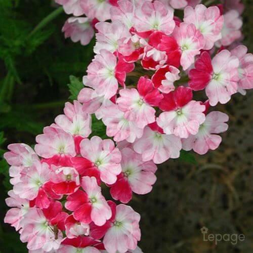 Verveine 'Pink Parfait' (Verbena 'Pink Parfait')