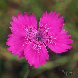 Oeillet à Delta 'Rosea' (Dianthus Deltoides 'Rosea')