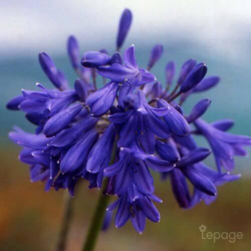 Agapanthe 'Cobalt Blue' (Agapanthus Cobalt Blue)