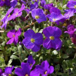 Aubriète Royal Violet (Aubrieta 'Royal Violet')