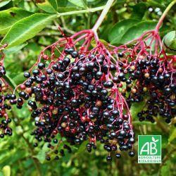 Sureau Noir à Fruits 'Haschberg' BIO