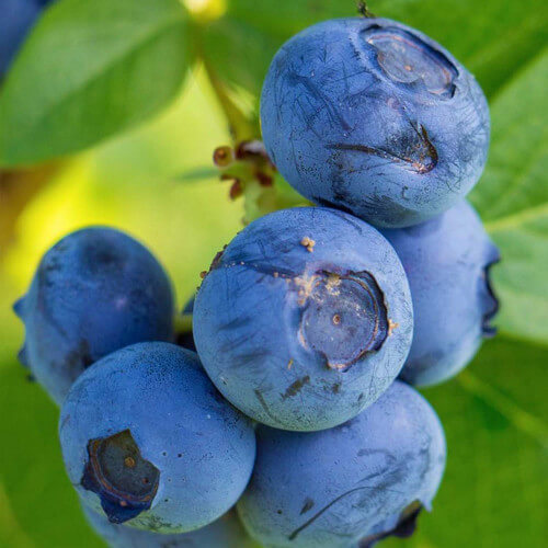 Myrtillier 'Blue Crop'
