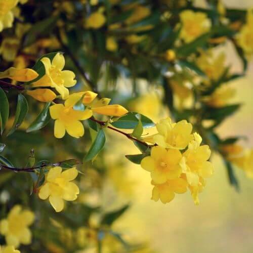 Jasmin Primevère (Jasminum Primulum)