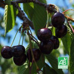 Cerisier 'Bigarreau Noir De Meched' BIO