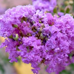Lilas des Indes 'Catawba' (Lagerstroemia Indica)