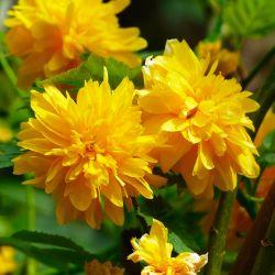 Corête du Japon 'Pleniflora' (Kerria Japonica)