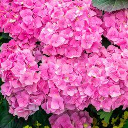 Hortensia Macrophylle 'Bouquet Rose' (Hydrangea Macrophylla)