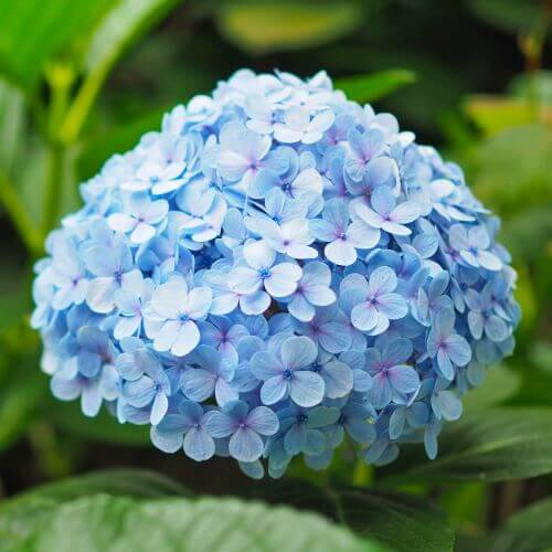 Hortensia Macrophylle 'Nikko Blue' (Hydrangea Macrophylla)