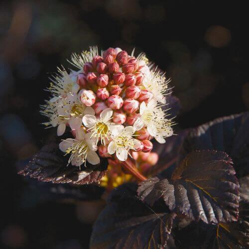 Physocarpe à Feuilles Pourpres 'Diabolo' (Physocarpus Opulifolius)