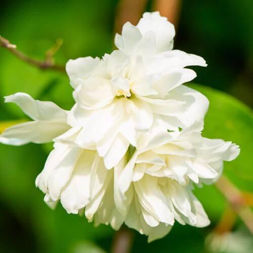 Seringat du Minnessota Blanc 'Snowflake' (Philadelphius)