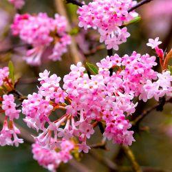 Viorne d'Hiver 'Dawn' (Viburnum Bodantense)
