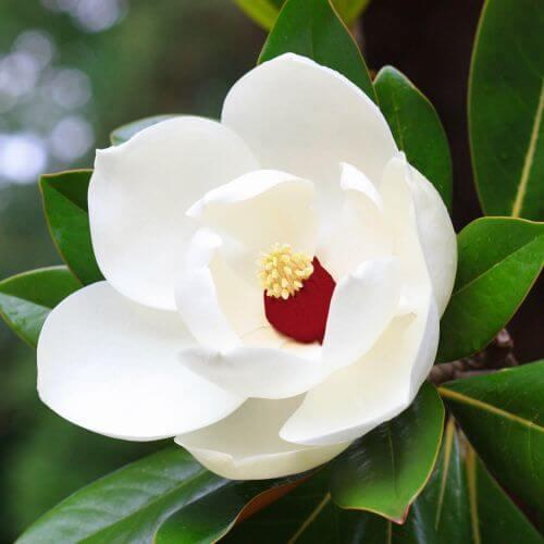 Magnolia de Sielbold
