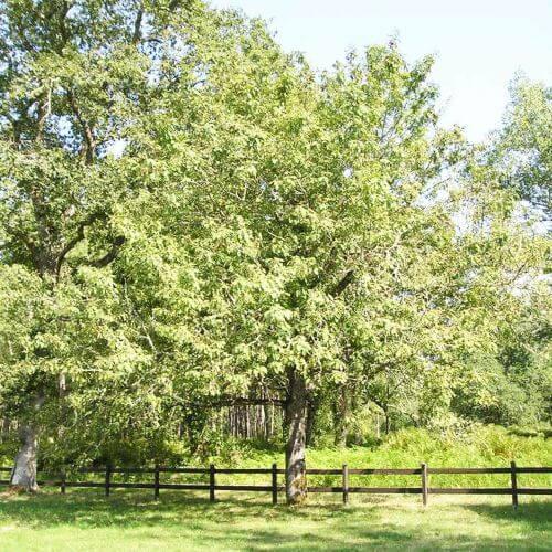 Cormier (Sorbus Domestica)