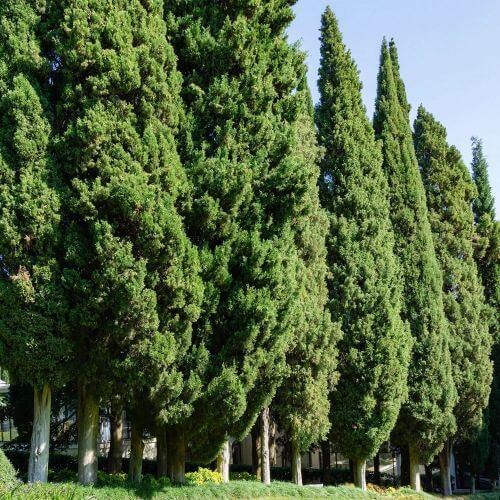 Cyprès de Provence (Cupressus Sempervirens)