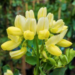 Coronille Glauque (Coronilla Glauca)