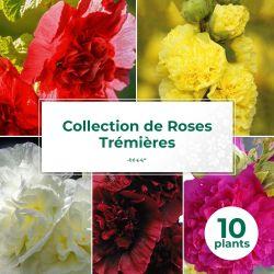 Collection de 10 Roses Trémières